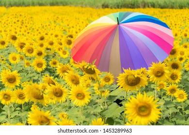muticolor umbrella in sunflower field. Sunflower field in summer season.