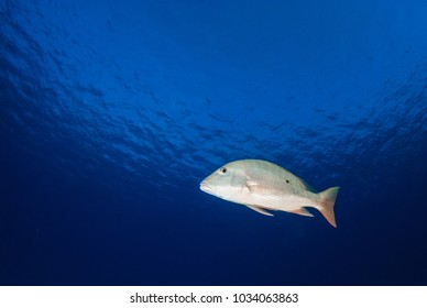 A mutton snapper cruises through the deep blue tropical warm water in the Caribbean Sea. This stretch of ocean is around Grand Cayman and these fish are a common sight there.