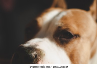 Muzzle of American breed dog Staffordshire terrier, close-up, with big sad eyes