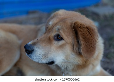 The muzzle of a beige dog with kind, intelligent eyes. Good dog. A dog with hanging ears.A beautiful mongrel.