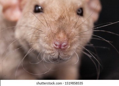 Muzzle of a beige rat close up. The mouse is looking at the camera. Decorative home rodents.