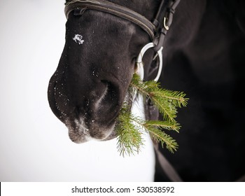 Muzzle of a black horse with a fir-tree branch