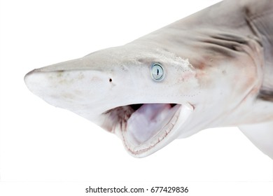 Muzzle of   Blacktip Reef shark (Carcharhinus limbatus)  close-up with an open mouth. Isolated on white background