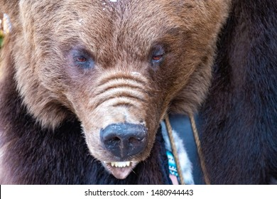 The muzzle is brown bear, with bared mouth. Dangerous animal. An animal with small eyes and sharp teeth. Danger.