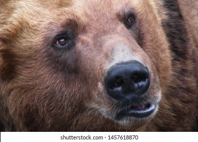 Muzzle brown bear closeup. Head predator is massive with small ears and eyes. Ursus arctos with open mouth.