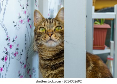Muzzle of curious cat peeks out in home interior from the shelves