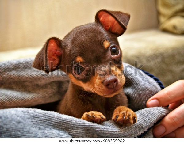 The muzzle of cute brown and tan short-haired Russkiy toy (Russian toy terrier) puppy wrapped in a towel.