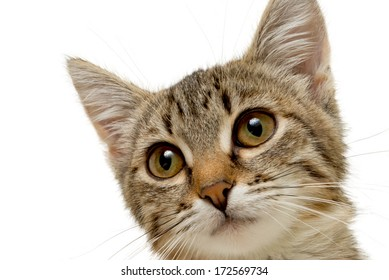 Muzzle cute gray kitten isolated on white background.