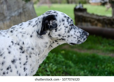 Great Dalmation Chubby Adorable Dog - muzzle-dalmatian-dog-outside-on-260nw-1077076520  Graphic_705722  .jpg