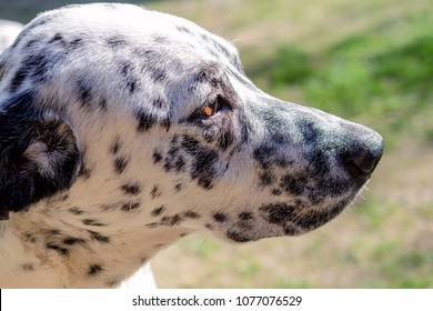 Great Dalmation Chubby Adorable Dog - muzzle-dalmatian-dog-outside-on-260nw-1077076529  Graphic_705722  .jpg