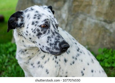 Great Dalmation Chubby Adorable Dog - muzzle-dalmatian-dog-outside-on-260nw-1077076550  Graphic_705722  .jpg