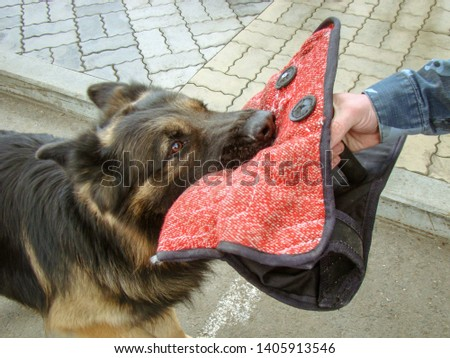 Muzzle dog breed German Shepherd close-up, long-haired. Bites a toy for training grip. Black-red coat color. Ears, nose. Man's hand.