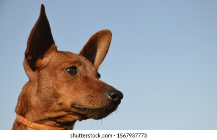 Muzzle dogs breed mini Pinscher on backdrop of the sky. The dog is brown, big-eared looks away.