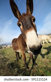 muzzle of donkey with long ears while grazing with sheep from bottom view photographed with a fisheye lens