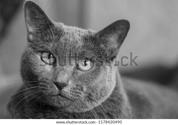 muzzle-elderly-gray-cat-breed-600w-15784