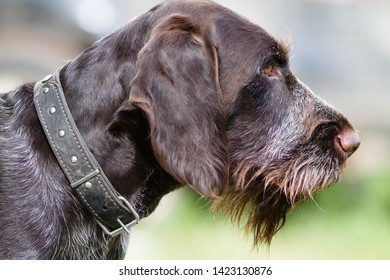 muzzle of german wirehaired pointer on blurred background