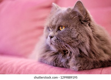Muzzle of gray big long-haired British cat lies on a pink sofa. Concept weight gain during the New Year holidays, obesity, diet for the cat. Offended face cute Fold British.