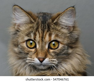 Muzzle kitten on a dark gray background. Head of long-haired cat with a mustache and large expressive eyes. Macro. Isolated.