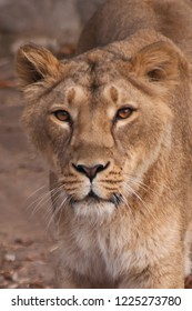 Muzzle of a lioness, calm look. The lioness is a strong and beautiful animal, demonstrates emotions. lion's head