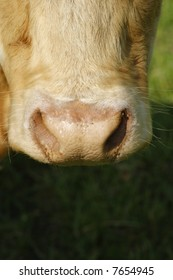 The muzzle on a cow