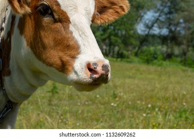Muzzle of a red-haired young cow. Cow on the fild. Heifer on the meadow. Private cattle breeding in Ukraine. Household subsidiary farming. A cow is grazing in a clearing.