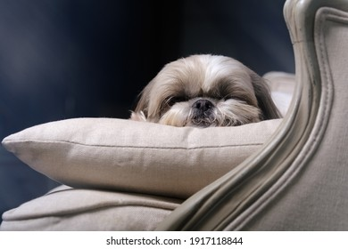 Muzzle of a Shitzu or Shih tzu dog puppy sleeping on a pillow in a armchair. Selective focus on nose.
