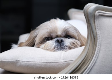 Muzzle of a Shitzu or Shih tzu dog  sleeping on a pillow in an armchair. Selective focus on nose.