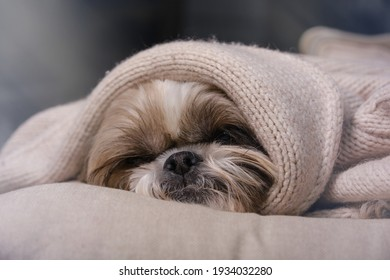 Muzzle of a Shitzu or Shih tzu dog puppy sleeping on a pillow in a armchair. Dog covered with a woolen jacket. Selective focus on nose.
