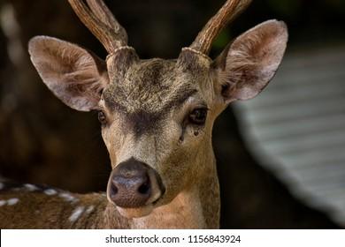 muzzle of sika deer