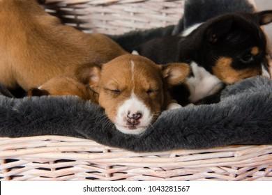 Muzzle of sleepy basenji puppy
