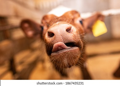 muzzle of a small bull calf close up selective focus on the nose and tongue, farm