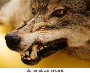 muzzle of a wolf over orange background