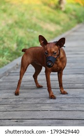 A muzzled dog stands against a background of green grass. Pet wear a muzzle on a walk. The dog has a black muzzle on its muzzle. Miniature Pinscher black muzzle.