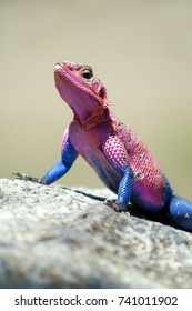 Mwanza flat-headed Rock Agama bathing under the noon sun in the National Park from Serengeti, Tanzania
