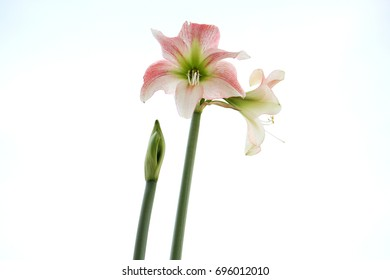 my amaryllis flower