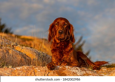 My beautiful female Irish Setter, lies and rests at the edge of the cliff. The sunset brings out her beautiful color, and shiny fur. - Shutterstock ID 1842002986