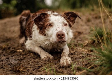 My beautiful, neurotic, brown and white Border Collie lays in the mud along a shoreline, intensely herding the other dogs in the park. Wet, dirty, muddy, happy, working dog.