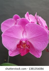 my beauty orchid, phalaenopsis purle