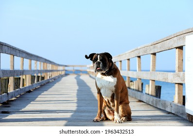 My boxerdog enjoying the fresh baltic sea air