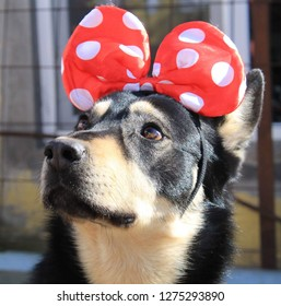 My dog with Mikey Mouse ears on