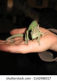 My friend chameleon