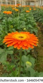 It Was My gardens Sunflower