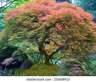 My Japanese Maple
