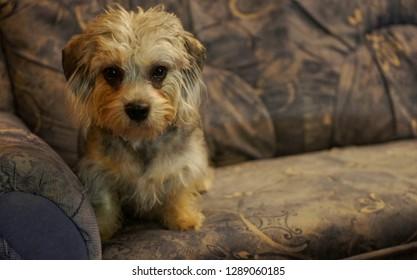 My lovely pet, dandie dinmont terrier  puppy