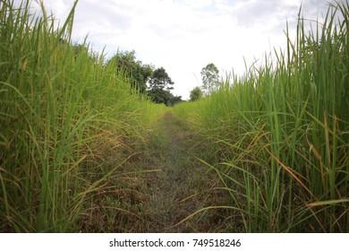 My rice fields in Thailand