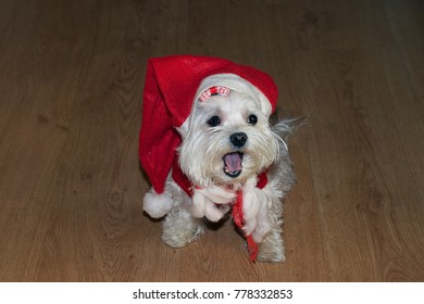 my small white dog  as santa claus