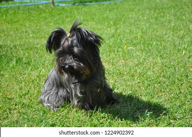 Royalty Free Yorkie Images Stock Photos Vectors Shutterstock