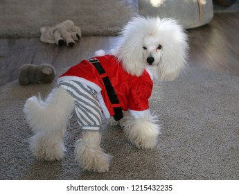 My white poodle dog wearing Christmas outfit. Furry, cute and funny looking dog photographed with neutral colored background where is carpets and dog toys. Merry Christmas!