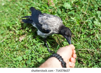 My wild friend is a gray crow