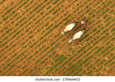 Myanmar Farmer in Bagan, beautiful landscape